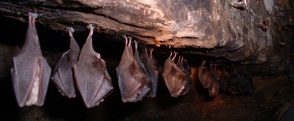Investigan aportación del murciélago para obtener mezcal de calidad