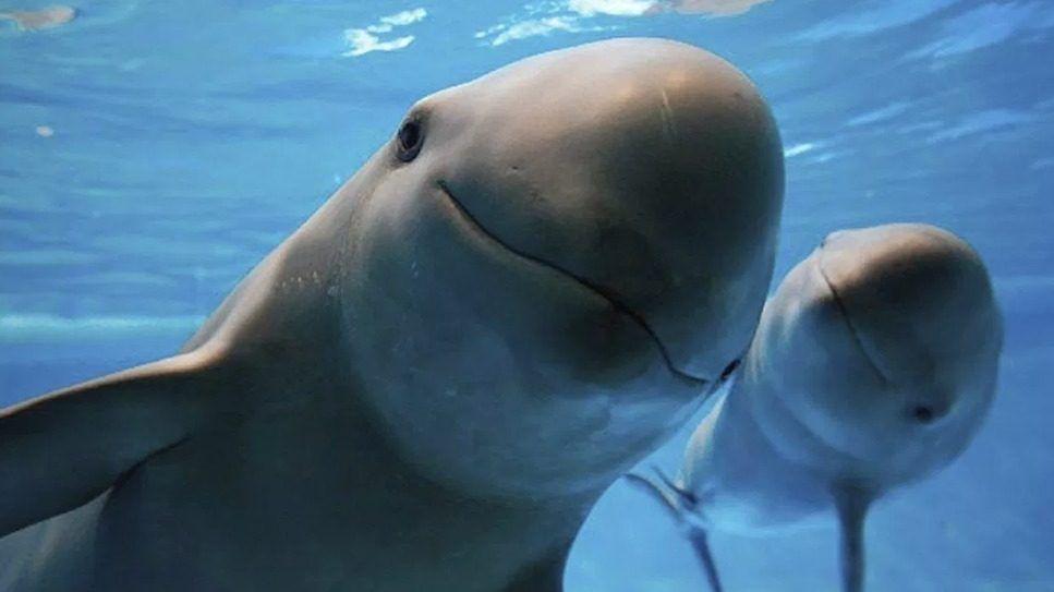 Solo quedan 10 ejemplares de la vaquita marina