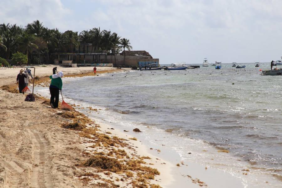 Solidaridad cuida sus playas con atención permanente al sargazo