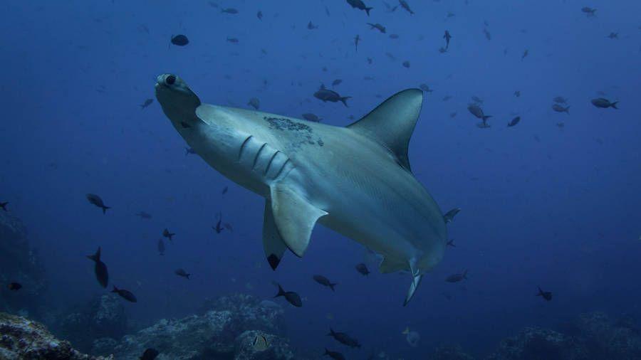 Vértebras del tiburón martillo revela sus patrones migratorios