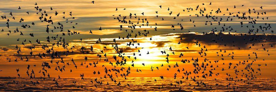 La migración de aves está en peligro